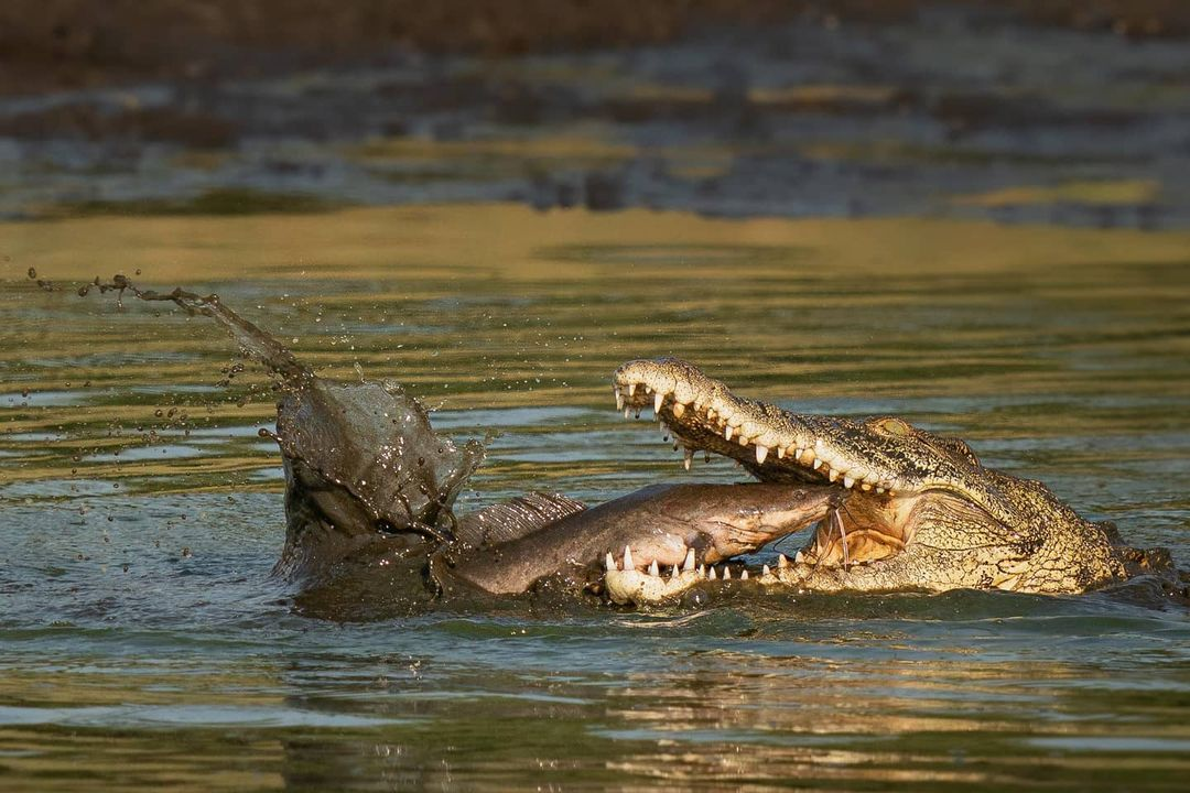 5-метровый крокодил сожрал 12-килограммового сома