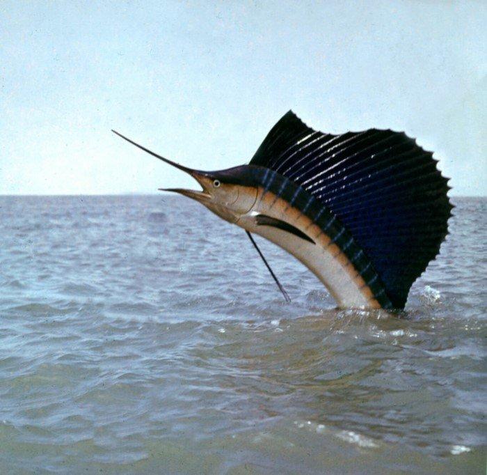 Трехметровый парусник — быстрая и очень красивая рыба