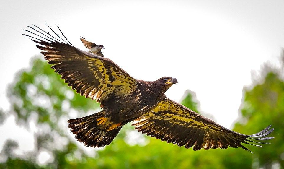 Маленькая птичка напала на орлана, который подлетел к ее гнезду