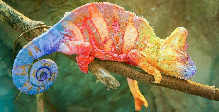 Хамелеоны изменяют цвет вовсе не для того, чтобы спрятаться