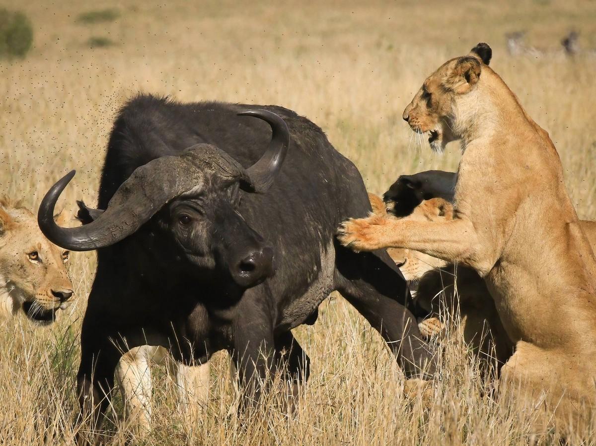 Прайд из восьми львов завалил буйвола